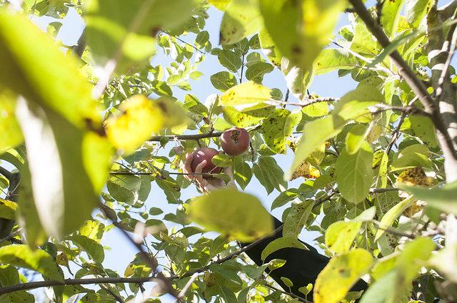 apple picking montana editorial photographer jessica lowry